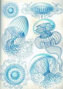 Blue Jellyfish ,Heackel