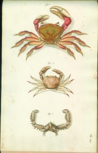 Crab Gockel Scan 1