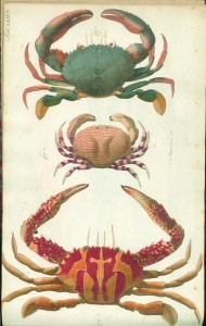 Crab Gockel Scan 2