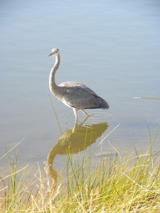 Lone Heron at Attalaya