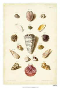 Muller Shell Collection 1
