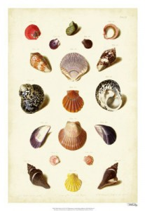 Muller Shell Collection 2