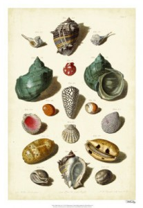 Muller Shell Collection 3
