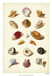Muller Shell Collection 4
